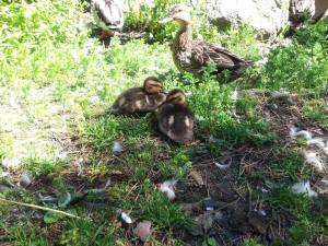 Ducklinfs.
